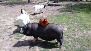 Cochon, poules et chèvres à la mini-ferme du camping