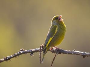 oiseau Seasonova