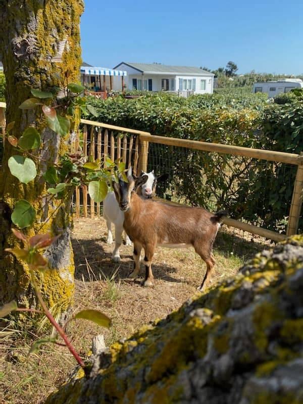 chèvres du point du jour